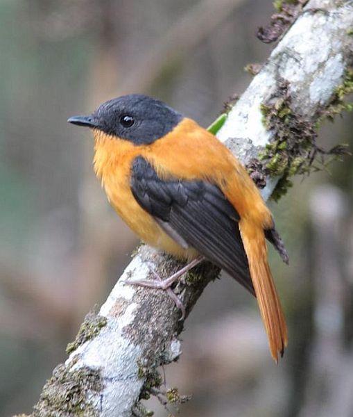 طائر الأسود والبرتقالي