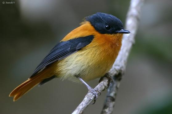 طائر الأسود والبرتقالي bofobi1.jpg?w=558&am