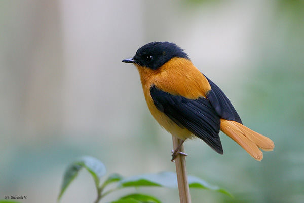 طائر الأسود والبرتقالي bofobi2.jpg?w=640