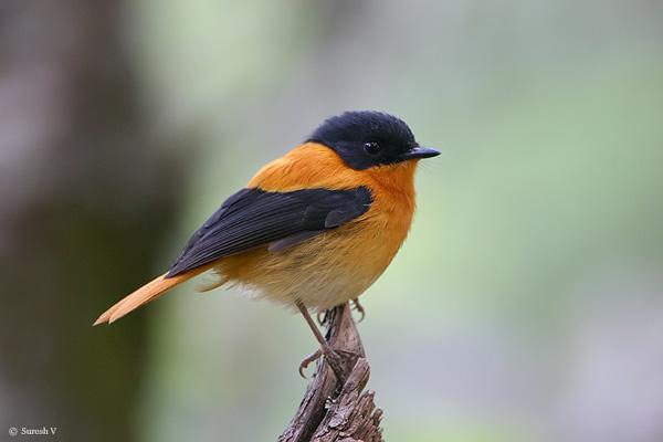 طائر الأسود والبرتقالي bofobi3.jpg?w=640