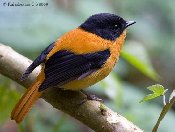 طائر الأسود والبرتقالي d8a7d984d8a7d8b3d988