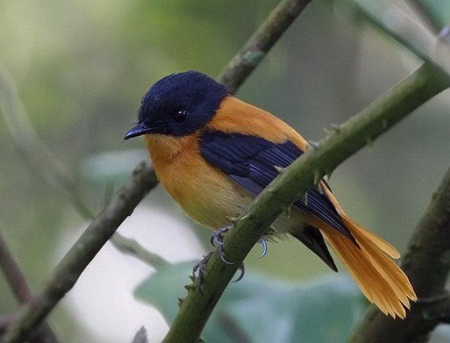 طائر الأسود والبرتقالي j3c542914black_and_o