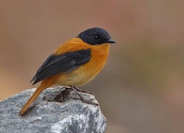 طائر الأسود والبرتقالي j3c561921b_and_o_fly