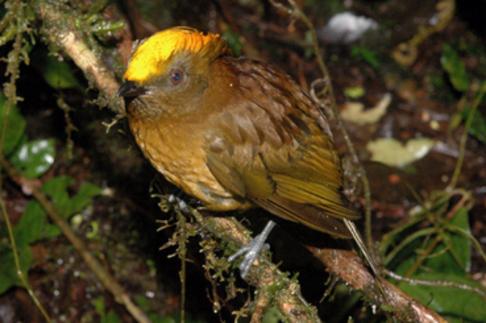 طائر ذهبي الوجة 10312788-amblyornis-