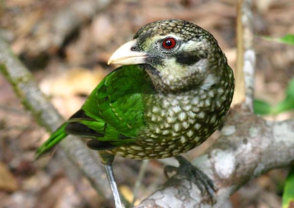 الأخضر الكتبيرد ailuroedus-crassiros