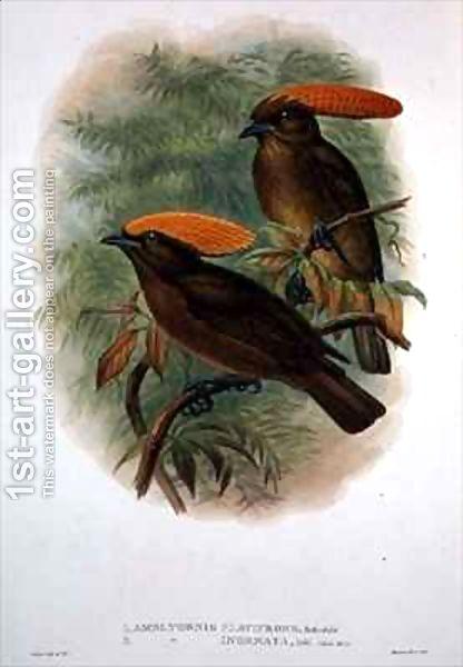 طائر ذهبي الوجة amblyornis-flavifron