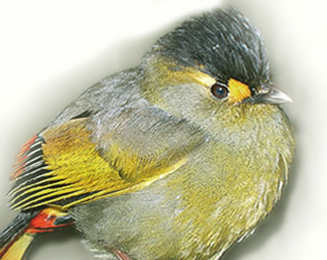 طائر بوغون الضاحك bugun-liocichla1.jpg