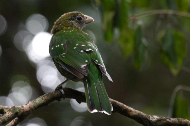 الأخضر الكتبيرد green-catbird_200904
