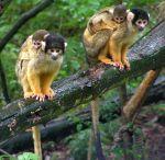 حديقة القردة في هولندا