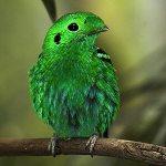 انواع طيور بورنيو