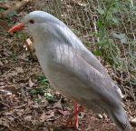 طيور الكاغو