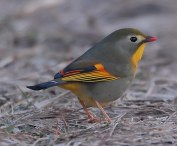 red-billed-leiothrix-leiothrix-lutea-by-nikhil-devasar