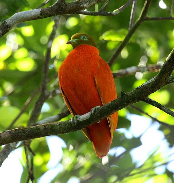 573px-Orangedove_taveuni_june2008