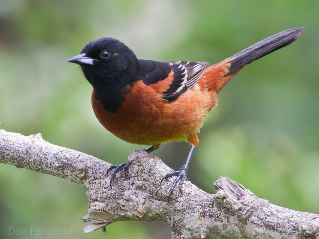 800px-Orchard_Oriole_by_Dan_Pancamo_2