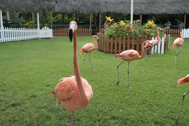 Flamingos_-Ardastra_Gardens-8k