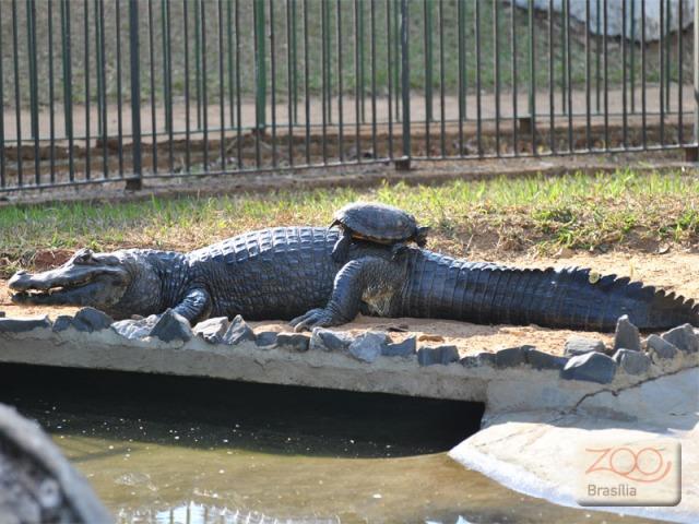 صور من حديقة حيوان برازيليا في jacare.jpg?w=640