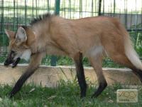 lobo-guara