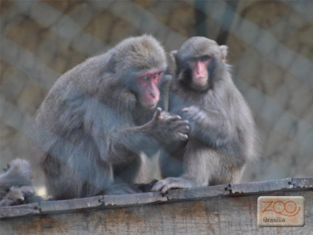 صور من حديقة حيوان برازيليا في macaco-japones.jpg?w