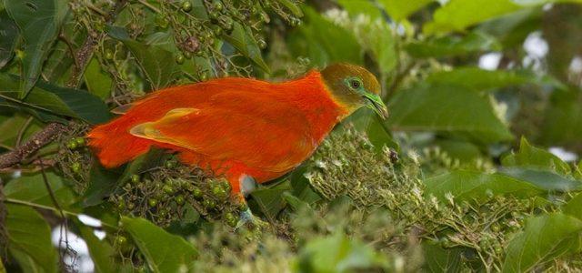 OrangeDove