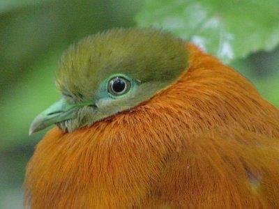 orangedove2
