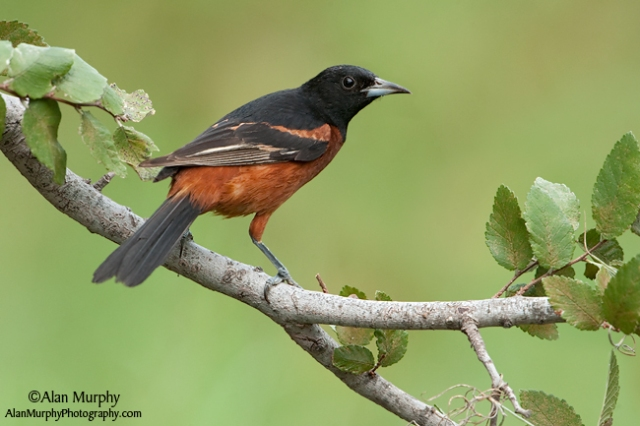 Orchard-Oriole-64