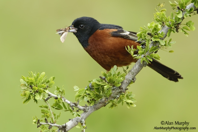 Orchard-Oriole-68