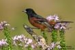 Orchard-Oriole-73