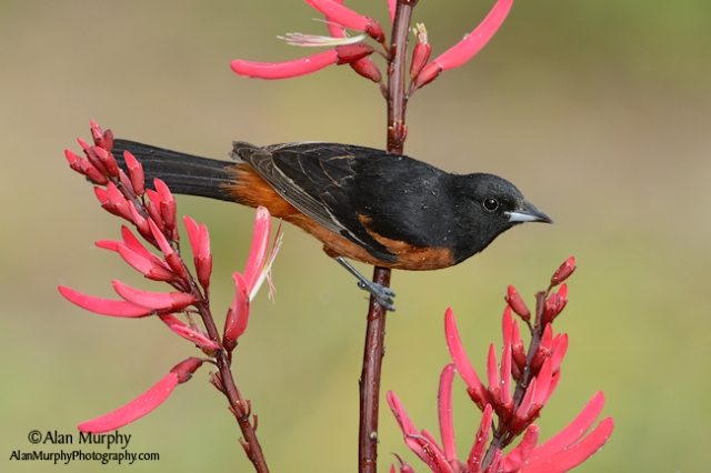 Orchard-Oriole-77
