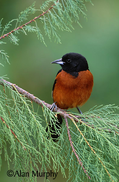 Orchard-Oriole-unsharp7