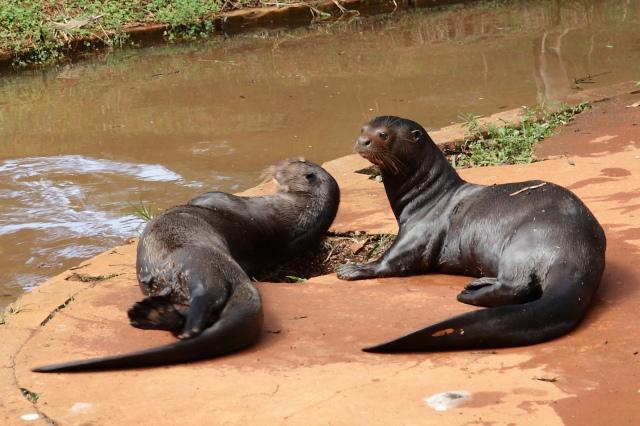 صور من حديقة حيوان برازيليا في pteronura_brasiliens