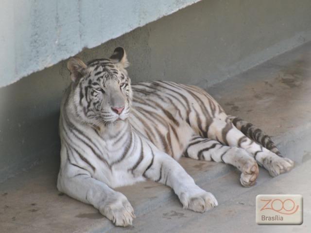 صور من حديقة حيوان برازيليا في tigre-branco.jpg?w=6