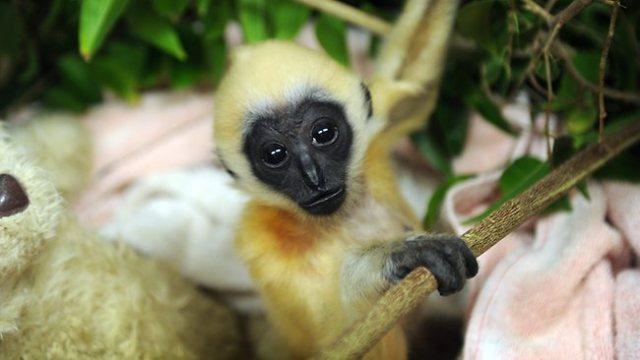 184088-gibbon