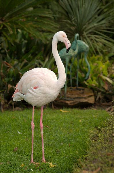 396px-Adelaide_Zoo_flamingo