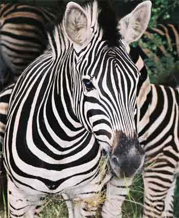 4_zebra