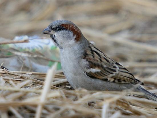 550px-Sind_Sparrow