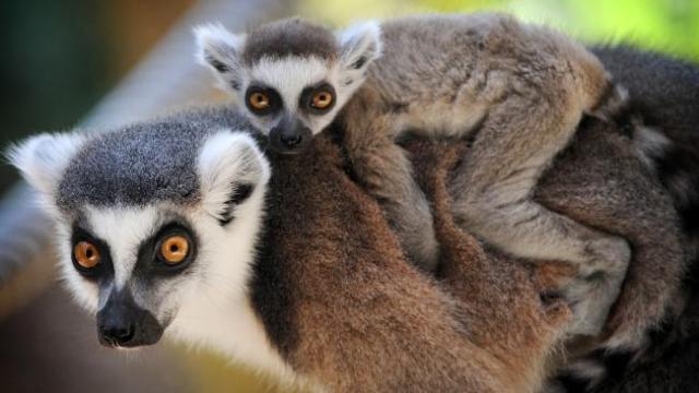 651702-ring-tailed-lemur-zanaka-and-her-baby