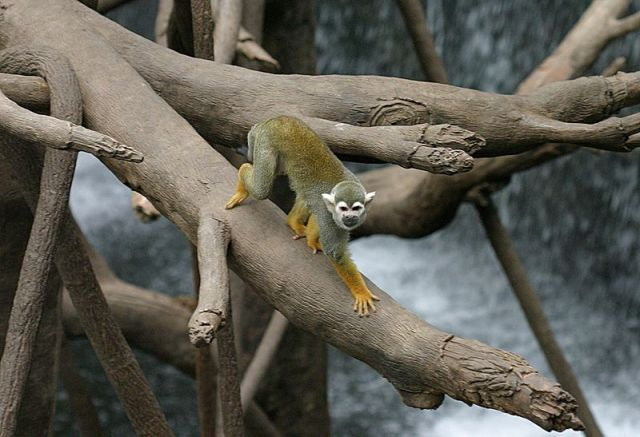 800px-Common_Squirrel_Monkey