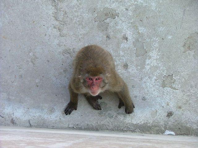 800px-Macaque