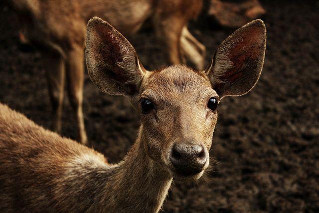 800px-Rusa_Deer_(C._Timorensis)