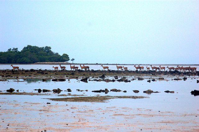 800px-Wild_Deers_near_Bama_Point,_Baluran