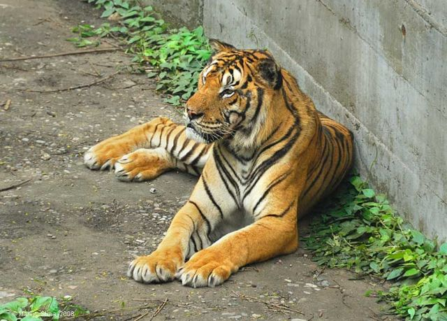 Beijing_Zoo_tiger_9611w