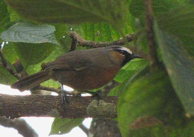 blackchinned_laughingthrush2dl