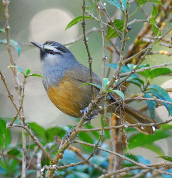 blackchinned_laughingthrush_sd
