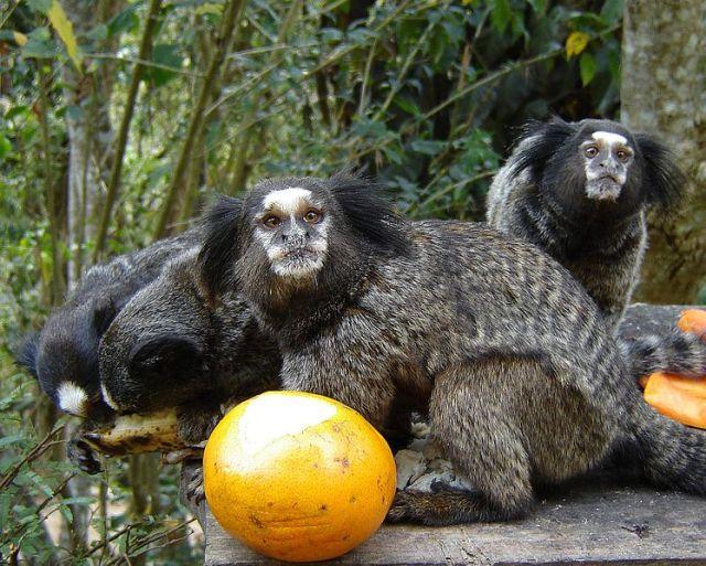 القرد ألاميركي أسود معنقدة