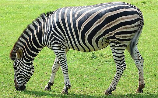 Chapmans-Zebra-web