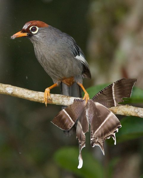 chestnut_capped_laughing_thrush20080627ch