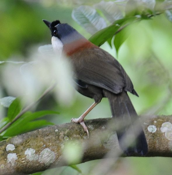 chestnutbacked_laughingthrush2