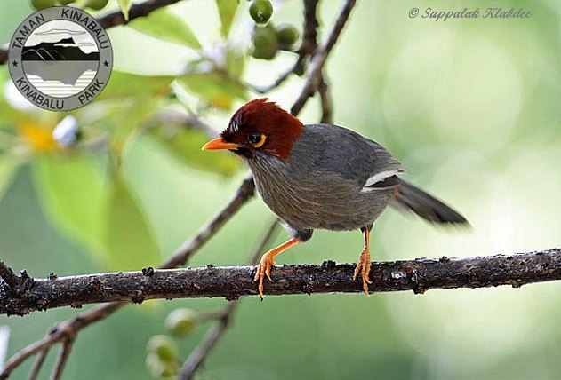 chestnutcapped_laughingthrush3_sk
