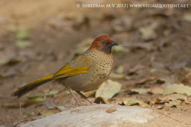 chestnutcrowned_laughingthrush2__31jan2013__kakragad