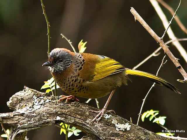 chestnutcrowned_laughingthrush_1
